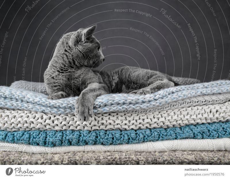 Russisch Blau Katze elegant Erholung Tier Haustier russisch blau 1 Decke Strickdecke Bett beobachten liegen Blick träumen Coolness frech schön selbstbewußt