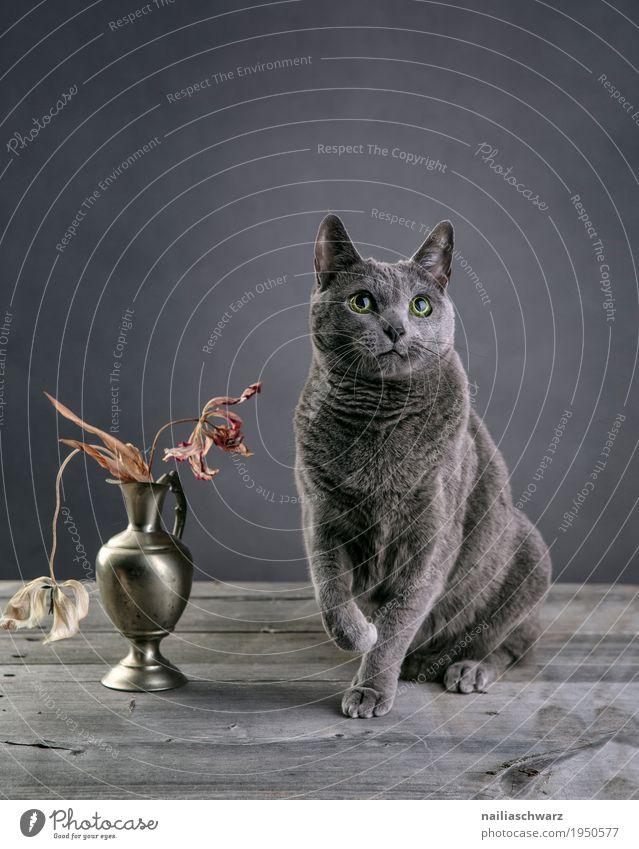 Russisch Blau Katze elegant Erholung Tier Haustier Tiergesicht russisch blau 1 Vase Behälter u. Gefäße Blumenstrauß Tulpe Holztisch beobachten Blick sitzen