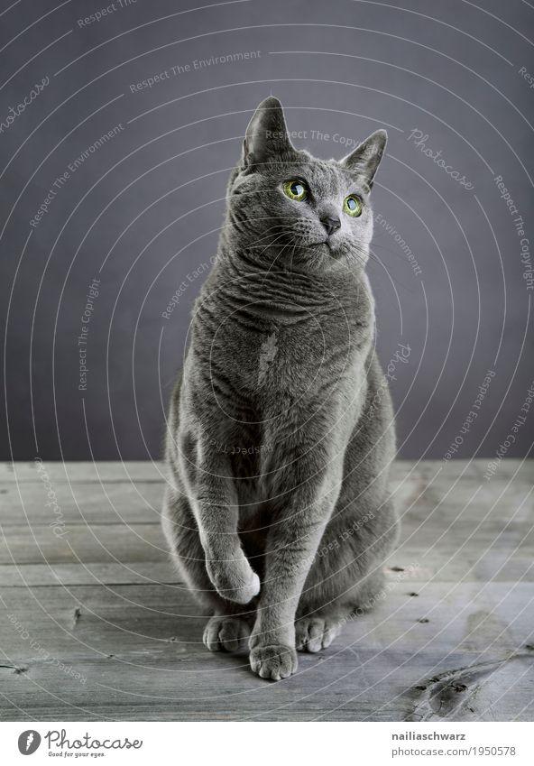Russisch Blau Katze blau schön Erholung Tier natürlich Holz grau Zufriedenheit elegant sitzen Fröhlichkeit Tisch beobachten Coolness niedlich