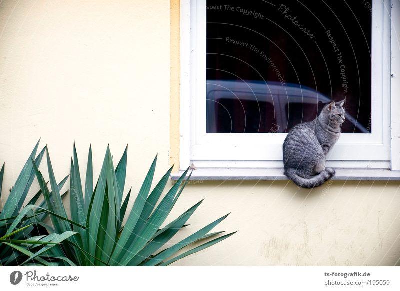 Waiting for a friend Pflanze Kaktus Grünpflanze Topfpflanze exotisch Palme Haus Mauer Wand Fenster Tier Haustier Katze Tigerfellmuster 1 Stein Glas hocken Blick