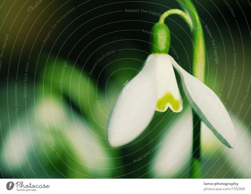 Kopf hoch! Natur Pflanze grün weiß Blume Frühling Blüte frisch Schönes Wetter Jahreszeiten zart Frühlingsblume Schneeglöckchen Makroaufnahme