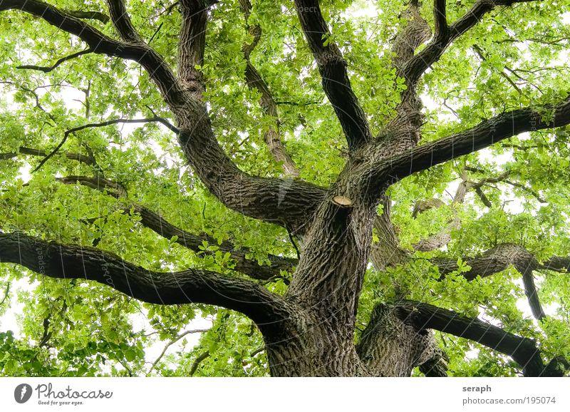 Alte Eiche Baum Lampe natürlich Ast Frieden Umweltschutz antik Geäst pflanzlich Atmosphäre Labyrinth Pflanze