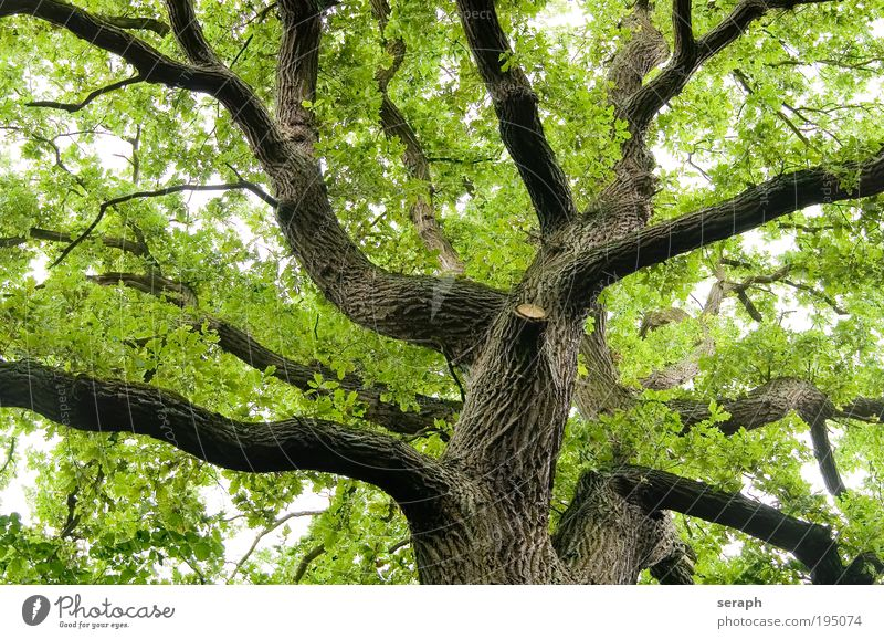 Alte Eiche Baum leaf leaves trunk crown of tree forest crust wood Ast Geäst Umweltschutz green lung bark age old giant Atmosphäre Labyrinth strength foliage
