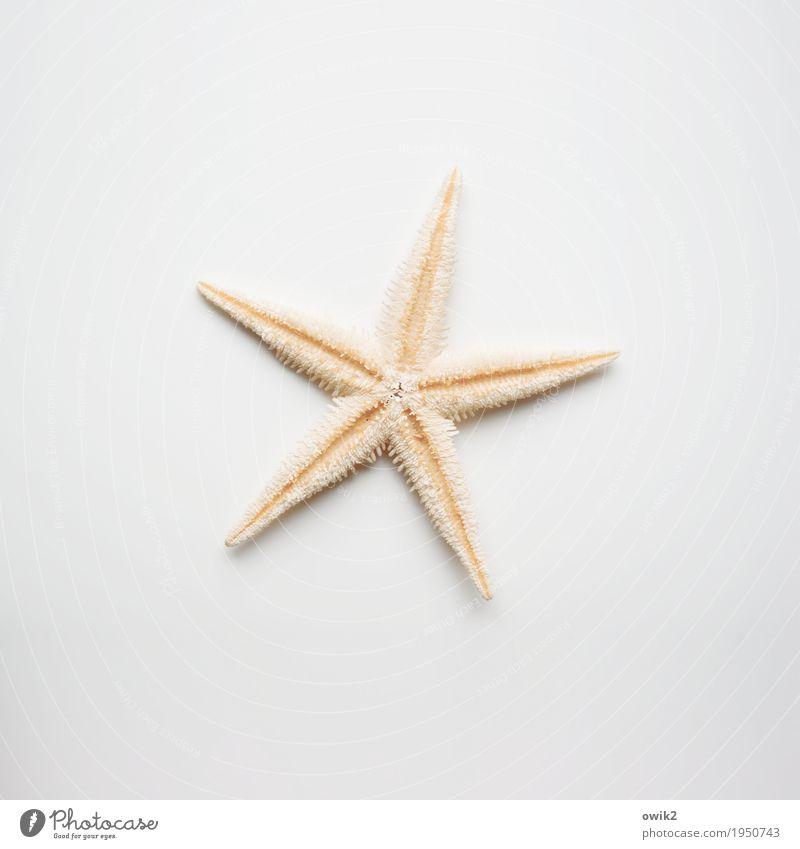 Maris Stella Seestern 1 Tier liegen authentisch frei klein Spitze stachelig trocken orange weiß Design einzigartig elegant Zufriedenheit gleich Identität