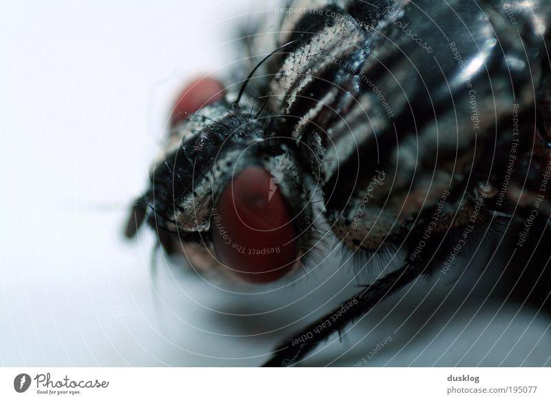 Fly II Tier Haustier Fliege Flügel Fell 1 bedrohlich dunkel Ekel frech frei hässlich klein nah blau Borsten Tierhaut Beine Farbfoto Nahaufnahme Detailaufnahme