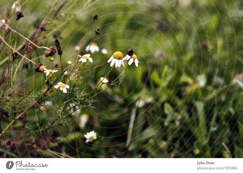 Im Moor Natur grün Pflanze Blume Gras Traurigkeit nass trist Sträucher Vergänglichkeit Ende Unwetter Verfall Verzweiflung Margerite schlechtes Wetter