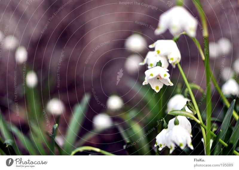 Märzbecher Natur grün weiß schön Pflanze Blume Blatt Umwelt Glück Blüte Frühling Fröhlichkeit Wachstum Vorfreude Frühlingsgefühle Frühlingsblume