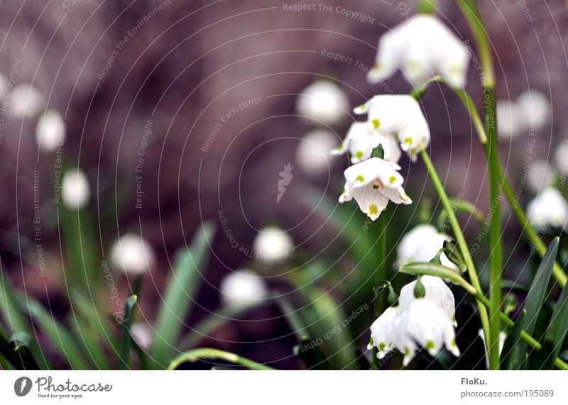 Märzbecher Umwelt Natur Pflanze Frühling Blume Blatt Blüte schön grün weiß Glück Fröhlichkeit Frühlingsgefühle Vorfreude Märzenbecher Frühlingsblume