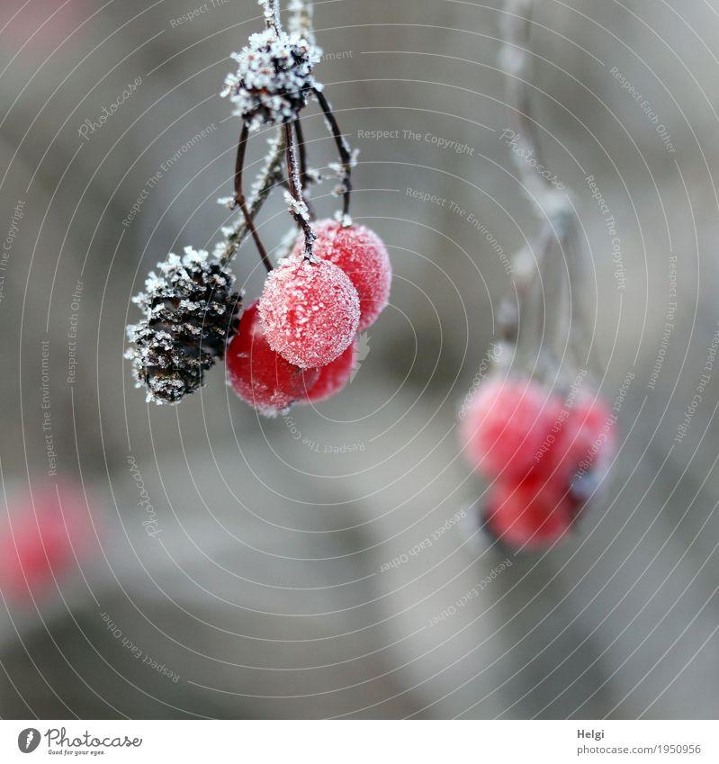frostige Früchtchen Umwelt Natur Pflanze Winter Eis Frost Sträucher Frucht Beeren Zapfen Wald frieren hängen ästhetisch einzigartig klein natürlich braun grau