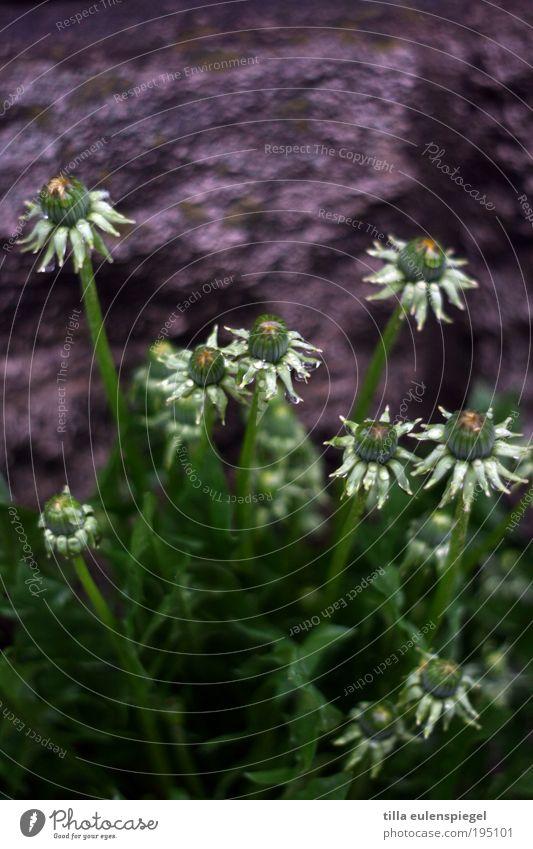 Mauerblümchen Umwelt Pflanze schlechtes Wetter Blume Gras Grünpflanze Wachstum schön natürlich wild blau grün Frühlingsgefühle Farbe Natur Löwenzahn Straßenrand
