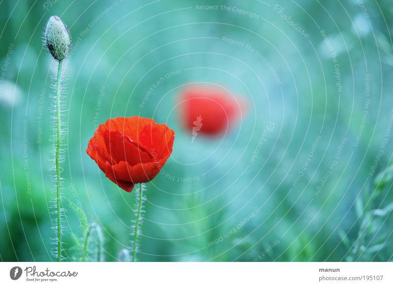 roter Mohn Erholung ruhig Natur Sommer Blume Blüte Wildpflanze Mohnblüte Mohnkapsel Blühend hell Romantik ästhetisch Design türkis Farbfoto Außenaufnahme
