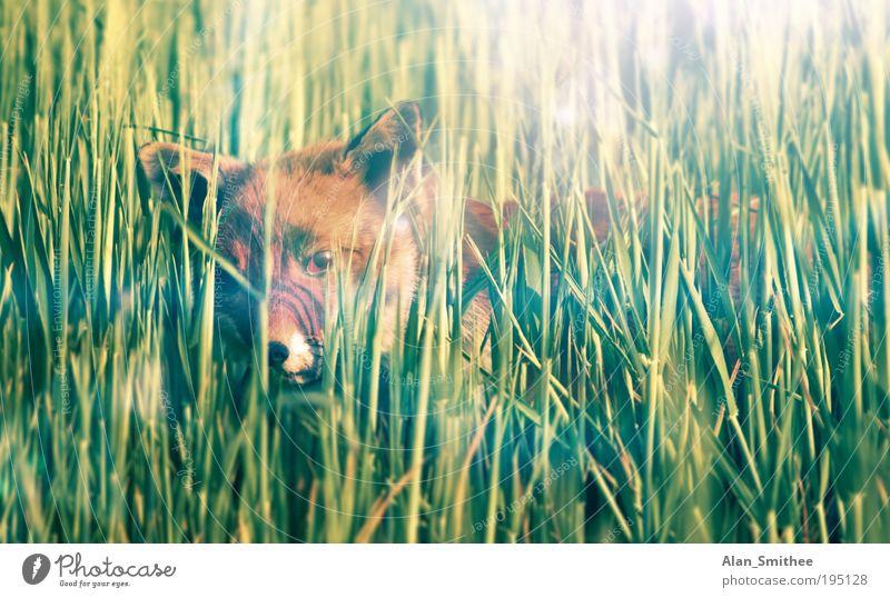schleichpfad Natur Tier Gras Feld Wildtier Fell Fuchs 1 beobachten Jagd Neugier wild grün Weisheit klug Schüchternheit verstecken listig Sonnenlicht Auge
