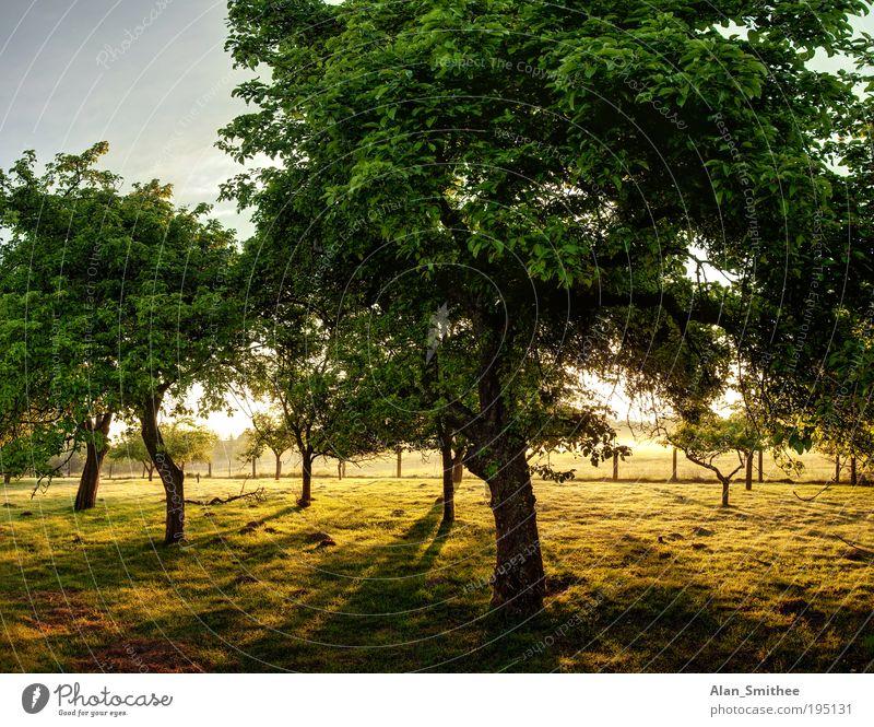 alter obstgarten Natur Baum grün Sommer gelb Garten Landschaft Landwirtschaft Morgen Sonnenstrahlen HDR Apfelbaum Obstbaum Obstbau Obstgarten