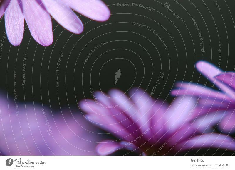 RandErScheinung Blume dunkel Gefühle Frühling hell violett Schutz zart Schönes Wetter Tiefenschärfe Geborgenheit Rahmen Blütenblatt Anemonen