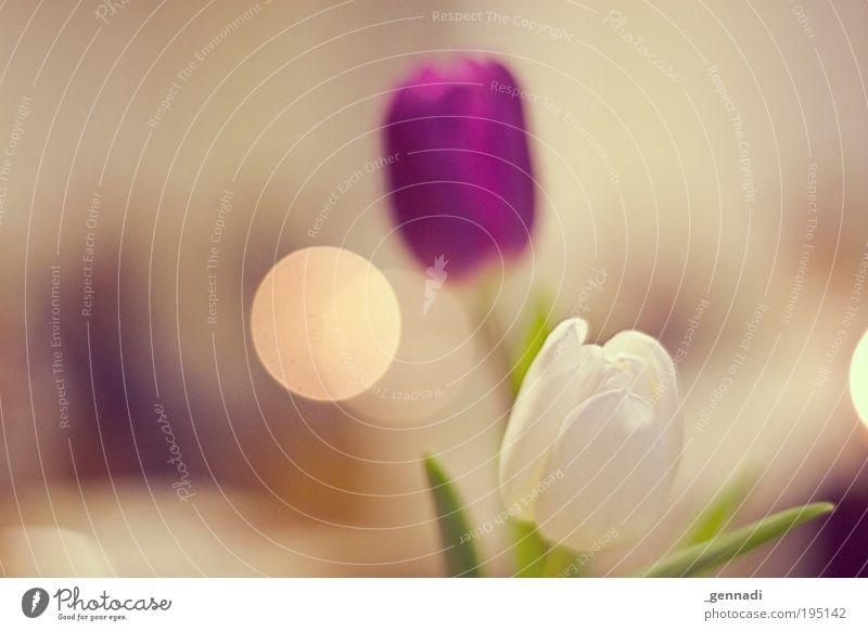 Frühling ich komme schön weiß Blume Pflanze Blüte authentisch violett zart Warmherzigkeit Tulpe Verliebtheit Wahrheit Grünpflanze zartes Grün