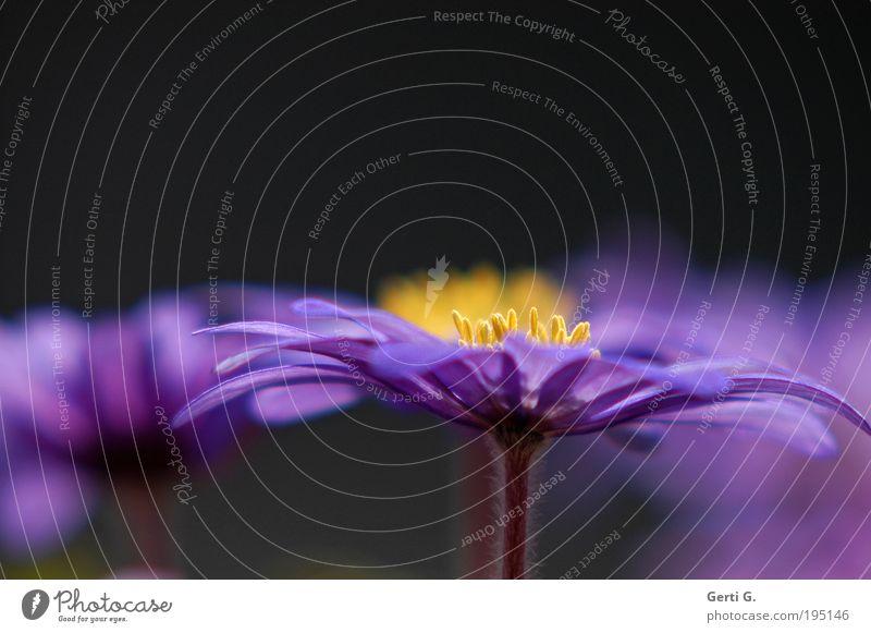 bloss OM s Pflanze Blume Anemonen Blühend Duft Erholung genießen ästhetisch schön Frieden Ordnung Vertrauen violett gelb Blüte Stempel ruhig zart Unschärfe