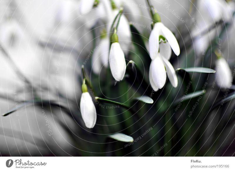 Schneeglöckchen II Natur Pflanze grün schön weiß Blume Blatt kalt Umwelt Blüte Frühling natürlich grau ästhetisch zart Vorfreude