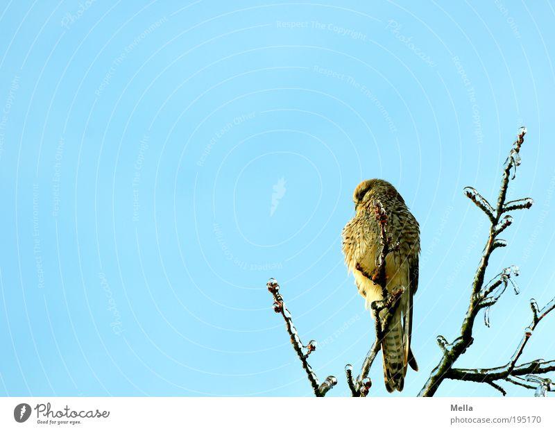 Tschakka! Umwelt Natur Tier Winter Eis Frost Pflanze Baum Ast Wildtier Vogel Turmfalke 1 hocken sitzen frei kalt natürlich blau Freiheit Greifvogel Farbfoto