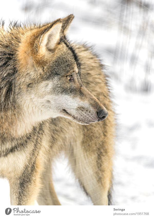 Neugier Natur Pflanze Tier Herbst Winter Wald Wildtier Hund Tiergesicht Fell Zoo 1 Fressen Jagd Blick Wolf Landraubtier Rudel Fleischfresser Farbfoto mehrfarbig