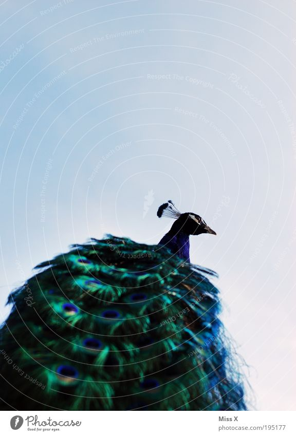 Pfau von unten Ausflug Tier Himmel Schönes Wetter Wildtier Vogel Flügel Zoo 1 ästhetisch exotisch glänzend schön Hochmut eitel elegant Reichtum Pfauenfeder