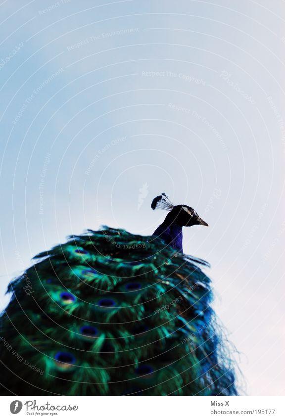 Pfau von unten schön Himmel Tier Vogel glänzend elegant Ausflug ästhetisch Feder Flügel Zoo Reichtum Wildtier Schönes Wetter exotisch