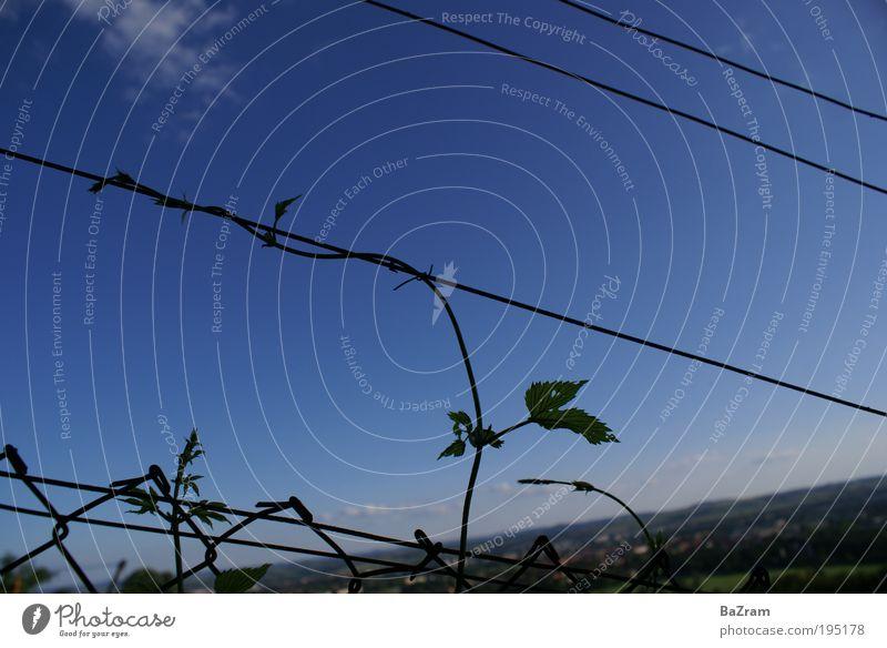 Weinranke am Zaun Natur Himmel Pflanze Wolken Landschaft Umwelt Horizont Weinberg Licht