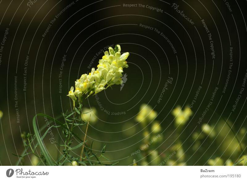 Leinkraut in Blüte Umwelt Natur Pflanze Schönes Wetter Wildpflanze Duft gelb Farbfoto Außenaufnahme Detailaufnahme Menschenleer Tag