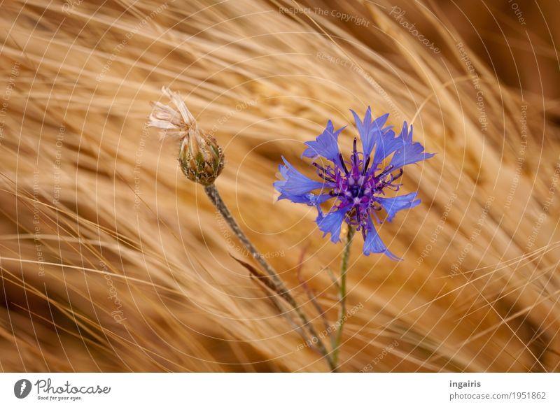 blau Natur Landschaft Pflanze Wind Blume Nutzpflanze Getreide Getreidefeld Kornblume Feld Bewegung stehen verblüht Wachstum natürlich gelb gold violett Leben