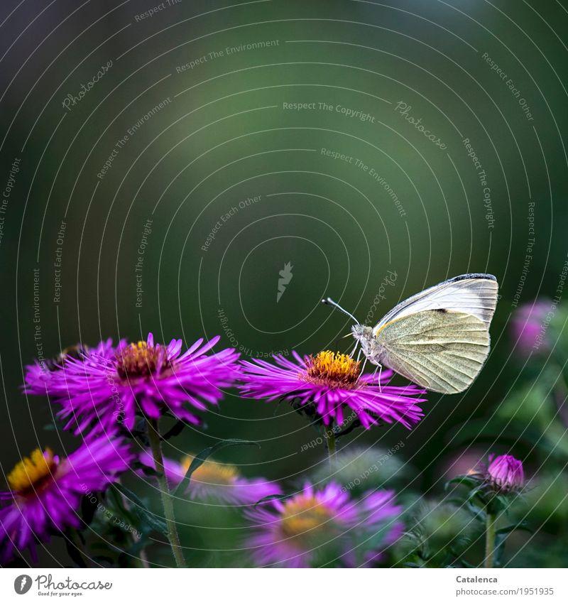 Frühstück Natur Pflanze Tier Sommer Blume Blüte Astern Garten Blumenbeet Schmetterling Großer Kohlweißling 1 Duft fliegen Fressen ästhetisch schön grau grün