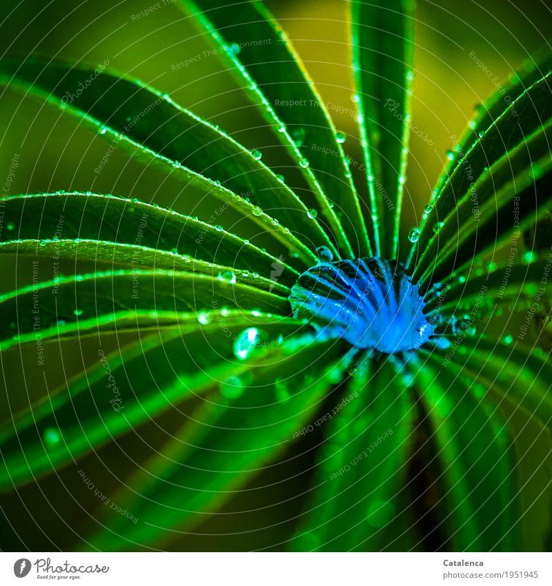 Sucht | nach knalligen Farben Natur Pflanze Wasser Wassertropfen Sommer Wetter Regen Blatt Lupinenblatt Garten glänzend Wachstum ästhetisch Flüssigkeit gelb