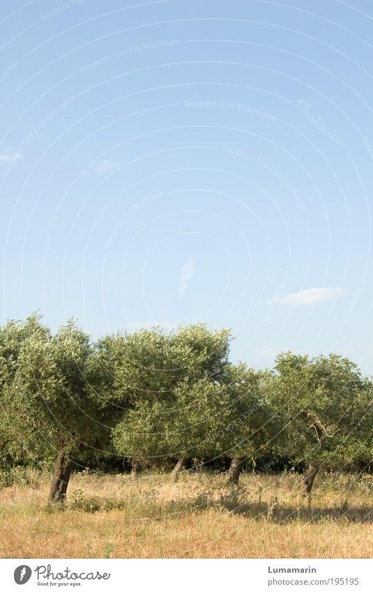 Schunkeltruppe Umwelt Landschaft Pflanze Wolkenloser Himmel Sommer Baum Nutzpflanze exotisch ästhetisch hell schön klein Wärme blau grün Ordnung Tourismus