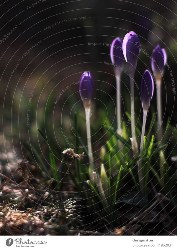 Auf die Plätze – fertig – … Pflanze Frühling Blume Krokusse Frühblüher Blühend Duft verblüht Wachstum dunkel hell Wärme Freude Glück Lebensfreude