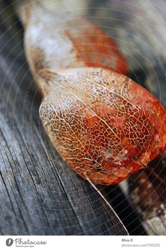 Physalis Frucht Umwelt Natur Sommer Herbst Pflanze Baum Garten Park Holz alt trocken Gitternetz Netz Gefäße Farbfoto Gedeckte Farben Außenaufnahme Nahaufnahme