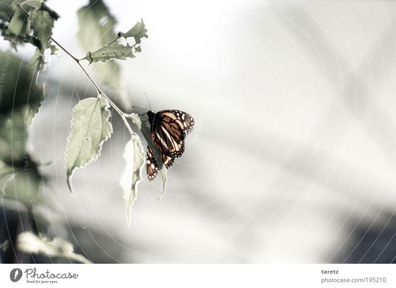 Alter Falter Natur schön Blatt Tier hell Insekt Vergänglichkeit Schmetterling Fressen bleich angefressen Monarch