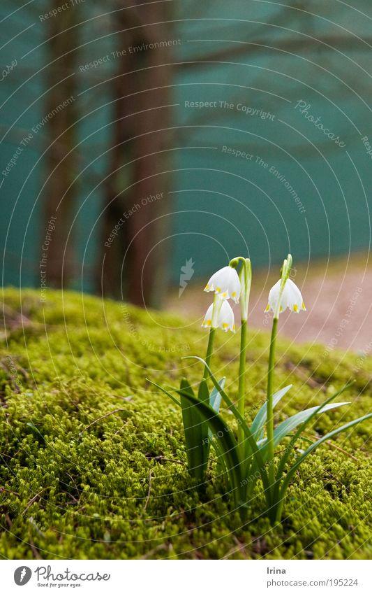 Leucojum vernum [BO] Pflanze Erde Baum Blume Moos Blatt Blüte Grünpflanze Wildpflanze Märzenbecher Bochum Duft frisch nah Sauberkeit weich braun grün Frühling