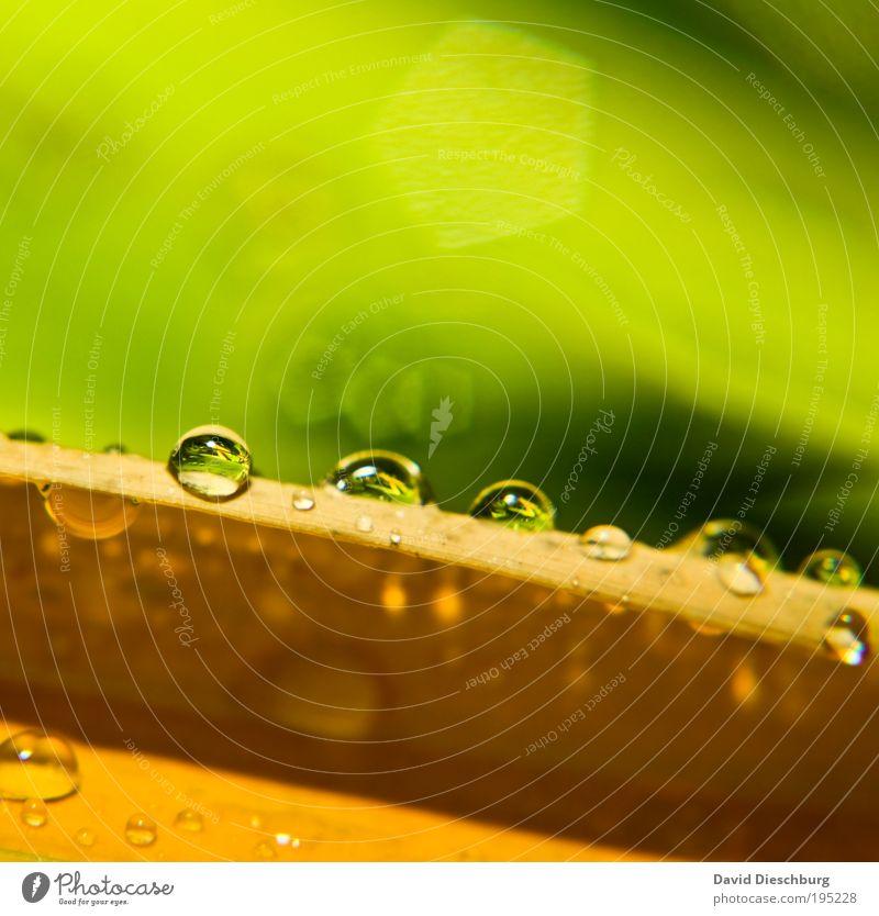 Morgentau im Frühling elegant Leben Natur Pflanze Wassertropfen Sommer Regen Blatt gelb grün Tau glänzend frisch nass feucht Tropfen rund Farbfoto Nahaufnahme