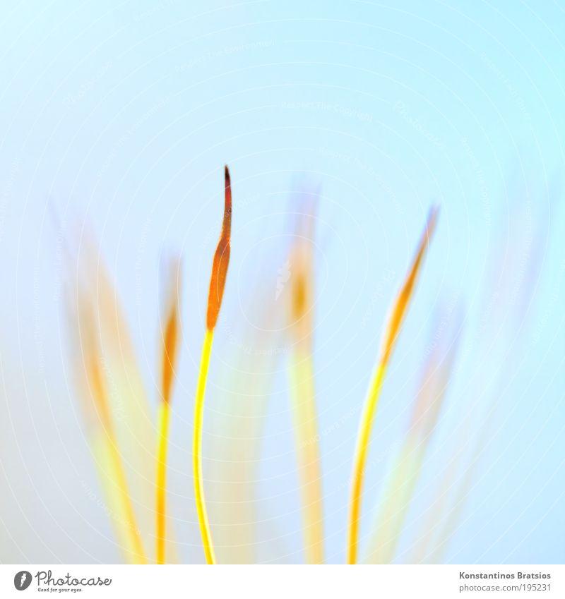 Calyptra 2010 Natur blau schön Pflanze gelb klein Frühling hell orange Hintergrundbild elegant ästhetisch Wachstum weich Spitze dünn