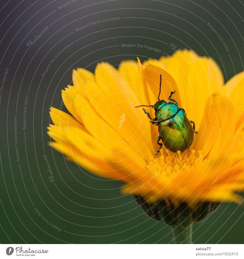 Feinschmecker Natur Pflanze Sommer Blume Blatt Tier Garten Zufriedenheit Blühend Wohlgefühl drehen Käfer Alternativmedizin krabbeln Nutzpflanze Heilpflanzen