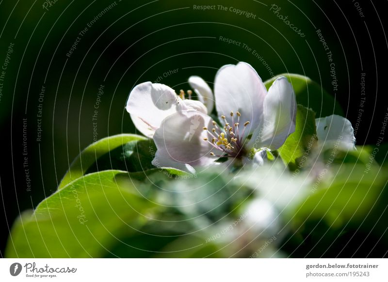 Apple Blossom Natur Pflanze Wolkenloser Himmel Sonne Sonnenlicht Frühling Schönes Wetter Blume Park Duft Farbfoto Gedeckte Farben Außenaufnahme Nahaufnahme