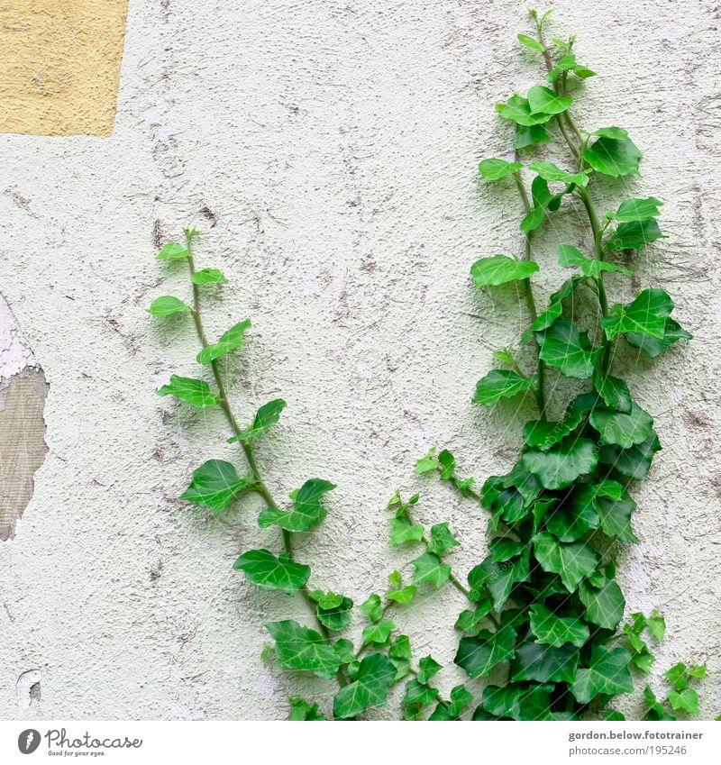 Nature is back Pflanze Sträucher Efeu Blatt Grünpflanze Wildpflanze Ruine Mauer Wand Farbfoto Gedeckte Farben Außenaufnahme Menschenleer Textfreiraum links