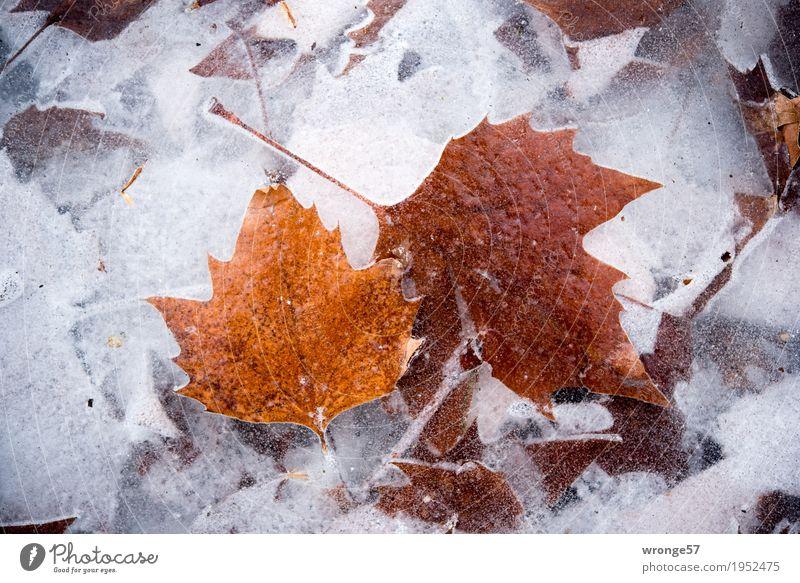 Eiszeit | glasklar II Natur Winter Frost Blatt Teich See kalt braun grau weiß Zacken durchsichtig Durchblick Klarheit gefroren Querformat Zentralperspektive