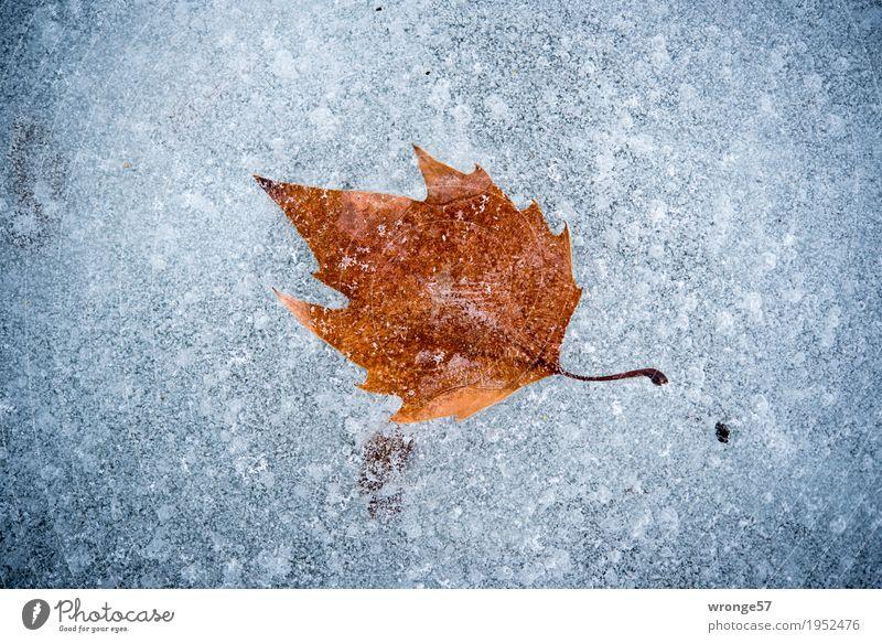 Eiszeit | Zeitkapsel I Natur Winter Blatt Teich See kalt braun grau weiß Frost gefroren eingeschlossen Querformat Zentralperspektive Außenaufnahme Nahaufnahme