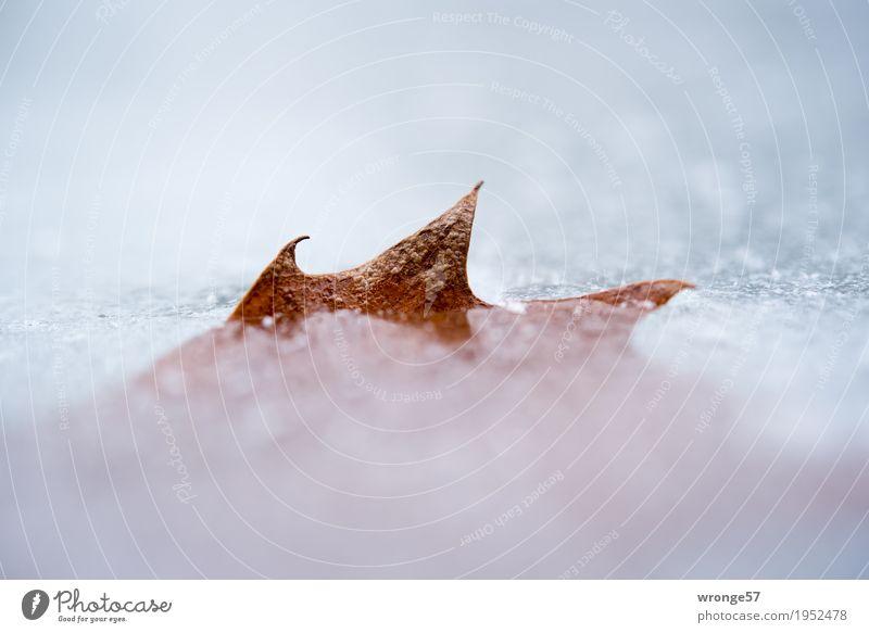 Eiszeit | Sägeblatt I Winter Frost Blatt Teich kalt nah Spitze braun grau weiß Zacken Querformat Makroaufnahme Nahaufnahme Detailaufnahme gefroren Farbfoto