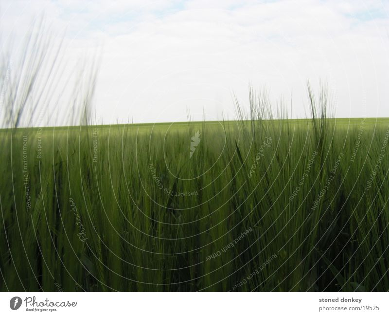 tief im Felde Gersten Frühling grün Mühlhasuen Landschaft Himmel