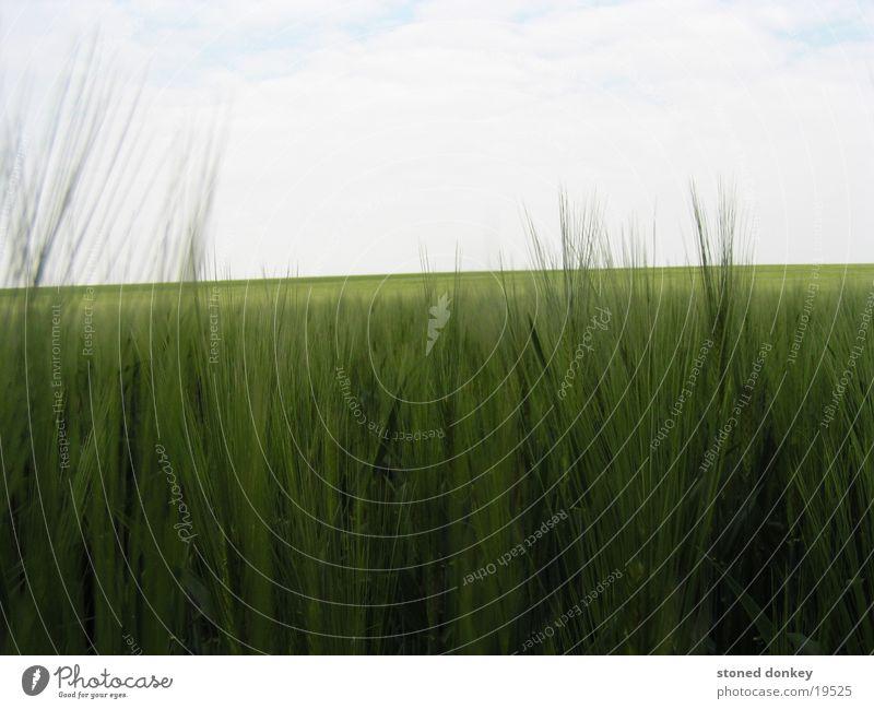 tief im Felde Himmel grün Frühling Landschaft Gersten