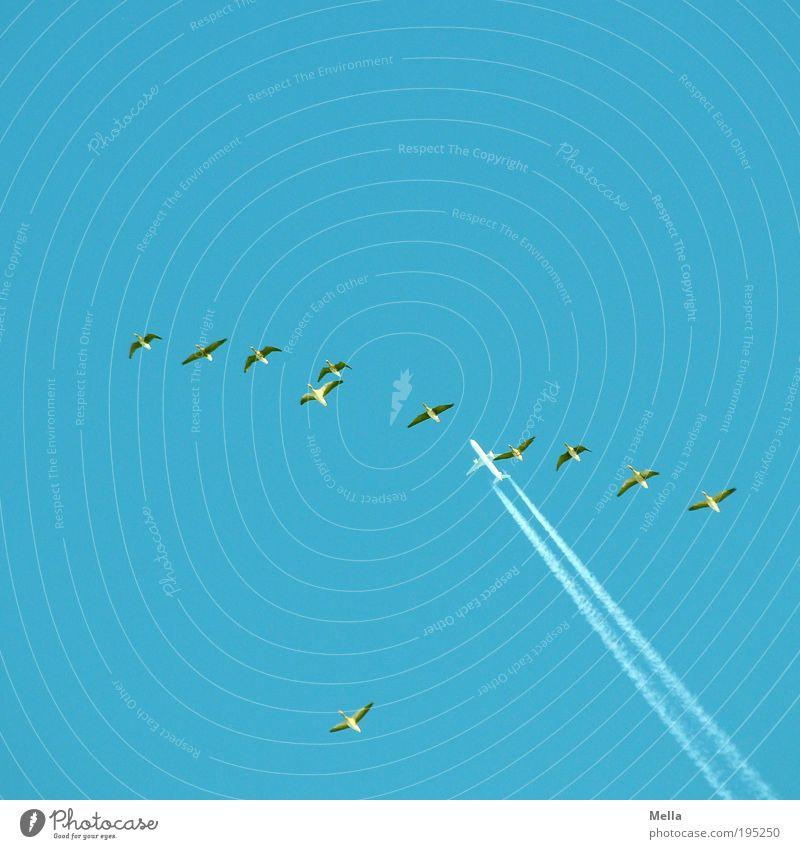 Mitfluggemeinschaft Natur blau Ferien & Urlaub & Reisen Tier Ferne Freiheit Luft Stimmung Zusammensein Vogel Flugzeug Umwelt fliegen frei hoch Geschwindigkeit