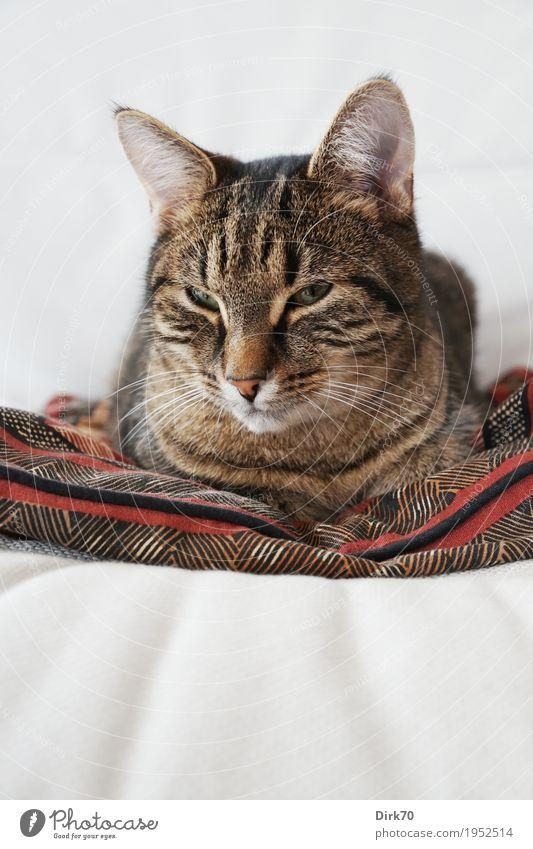 Schläfrig auf dem Sessel II - Aufgeweckt Lifestyle Häusliches Leben Wohnung Möbel Sofa Tier Haustier Katze Tiergesicht Hauskatze Tigerkatze 1 Kissen liegen