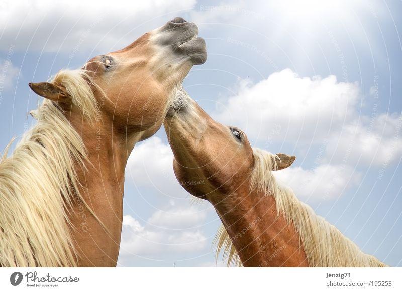 2 Pferdchen in der Frühlingssonne. Tier Haustier Nutztier Fell Herde Tierpaar frei Fröhlichkeit Glück Unendlichkeit niedlich blau braun Freude Zufriedenheit