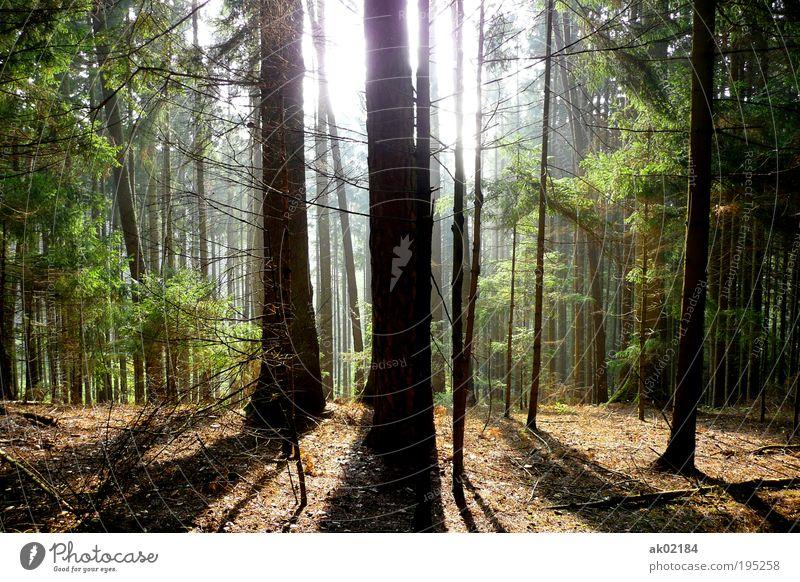Spaziergang im Wald Umwelt Natur Landschaft Pflanze Urelemente Erde Sonnenaufgang Sonnenuntergang Sonnenlicht Frühling Sommer Schönes Wetter Baum Grünpflanze
