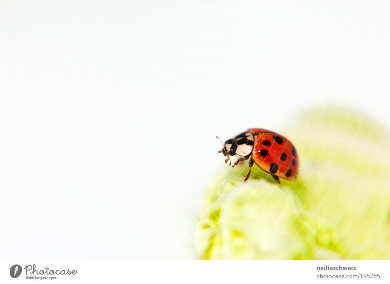 Marienkäfer Umwelt Natur Tier Wildtier Käfer 1 ästhetisch gut klein grün rot schwarz Glück Farbfoto mehrfarbig Innenaufnahme Studioaufnahme Nahaufnahme